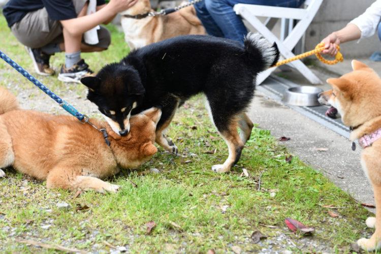 遊びを眺める柴犬の子犬