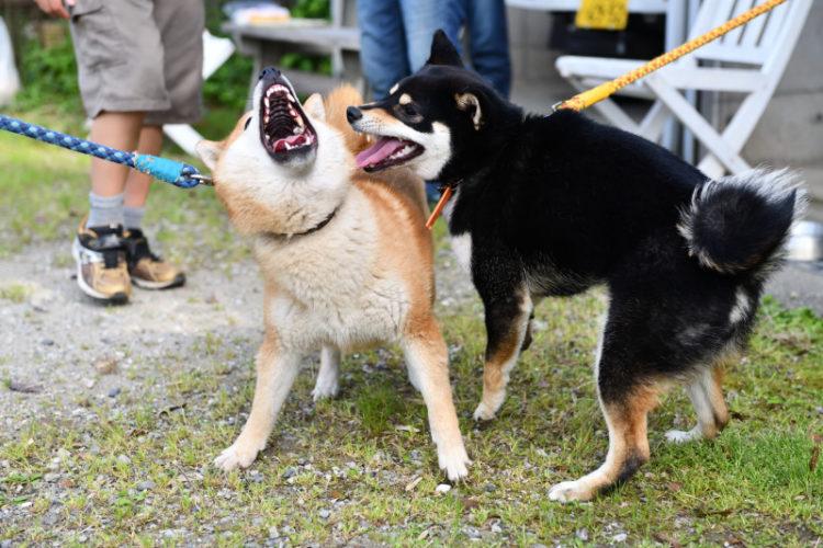 激しい遊びの柴犬