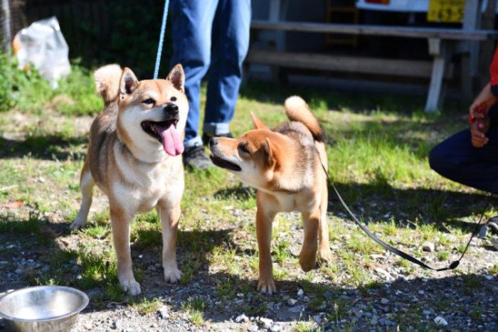 母親と戯れる柴犬