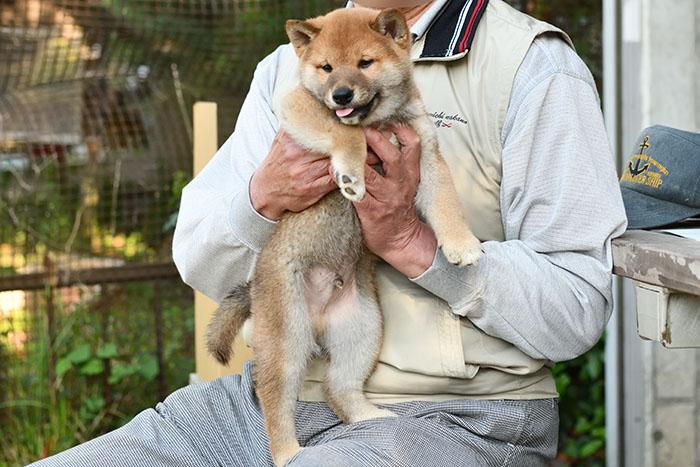 お売りした柴犬の子犬