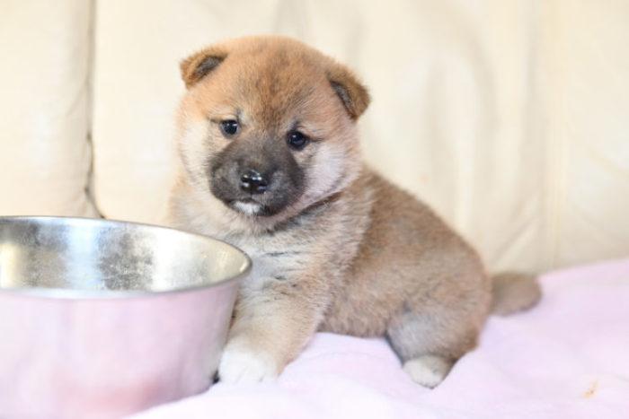 食事中の柴犬の子犬