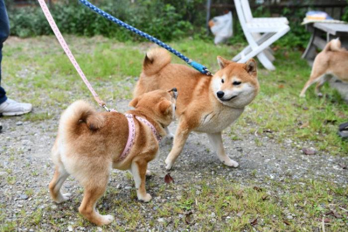 若干引き気味の柴犬