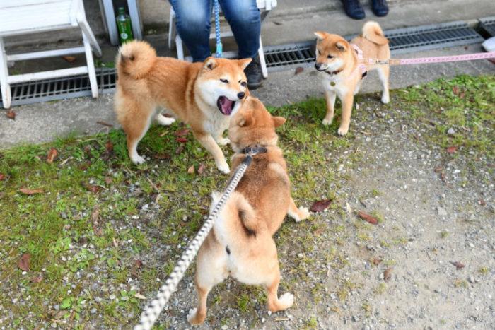 柴犬3匹の戯れ