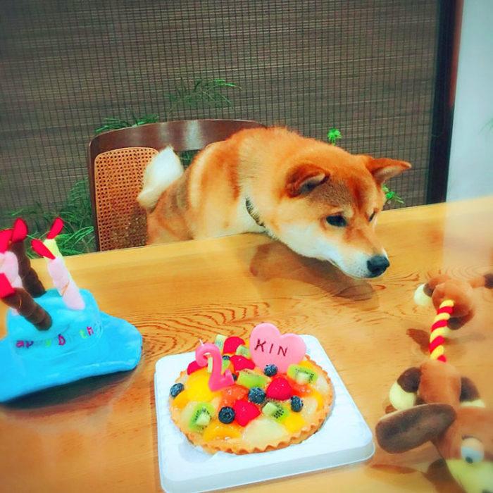 お誕生日ケーキと柴犬