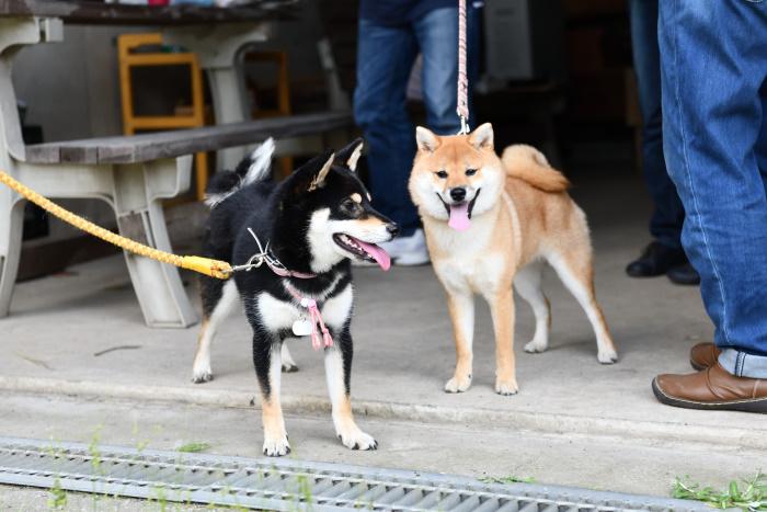 黒柴さきちゃんと柚子ちゃん