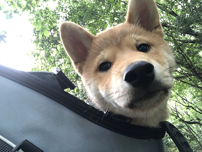 柴犬春義君の写真