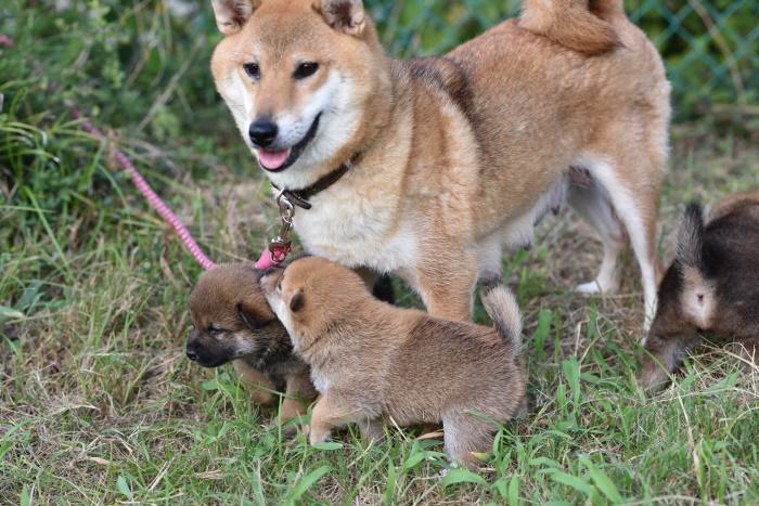 柴犬の親子の写真。