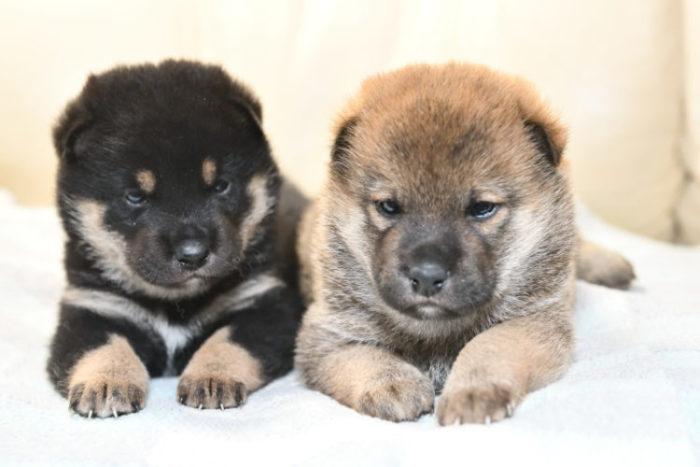 黒柴と赤柴の子犬
