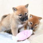 【のの香の子】柴犬の子犬は41日目です♪【血統書名のお願い】