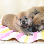 子犬の目が開きました♪柴犬の子犬は生後17日目です。