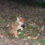 【のの香の子】柴犬の子犬たちは50日目です♪