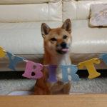 【かりんの子】赤柴一果ちゃんから1歳のお誕生日のお知らせ♪
