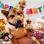 【美春姫の子】赤柴ふー太君から1歳のお誕生日のお知らせ🎶