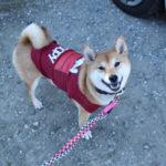 【冬休み】赤柴ゆずちゃんのお留守番【桜姫の子】