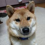 【飼い主様】赤柴リュウ君から1歳のお誕生日のお知らせ♪【美春姫の子】