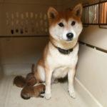 【柴犬の子犬】赤柴美里が出産いたしました♪
