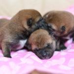 【柴犬の子犬】美里の子育ては5日目です♪