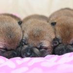 【柴犬の子犬】赤柴美里の子育ては11日目です🎶