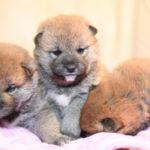 【柴犬の子犬】美里の子育ては24日目です🎶【美里の子】
