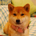 【飼い主様】赤柴小町ちゃんから1歳のお誕生日のお知らせ♪【美春姫の子】