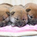 【柴犬の子犬】見学ありがとうございました。美里の子育ては29日目です♪