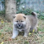 【柴犬の子犬】柴犬の子犬たちです♪【美里の子】
