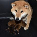 【美春姫の子】柴犬の子犬は3日目です♪