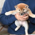 【美里の子】柴犬の子犬の飼い主様決定いたしました♪