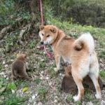 【美春姫の子】子犬の見学ありがとうございました。柴犬の子犬は29日目です♪