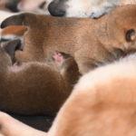 【赤柴あずきの子】2匹の柴犬の子犬は4日目です♪