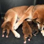 【赤柴かりんの子】柴犬の子犬は4日目です♪