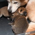 【赤柴あずきの子】柴犬の子は6日目です♪