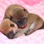 【赤柴あずきの子】柴犬の子犬は9日目です♪
