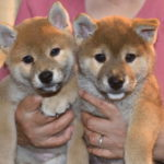 【赤柴あずきの子】柴犬の子犬は55日目です♪