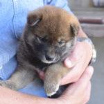 【赤柴かりんの子】子犬の見学ありがとうございました。柴犬の子犬は33日目です♪