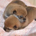 【赤柴ムギの子】柴犬の子犬は7日目です♪