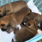 【赤柴のの香の子】柴犬の子犬は15日目です♪