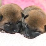 【赤柴のの香の子】明日(5月8日)から子犬の見学を開始します。