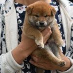 【赤柴かりんの子】子犬の見学ありがとうございました♪ 柴犬の子犬は40日目です♪