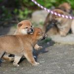 【赤柴かりんの子】柴犬の子犬は40日目です♪
