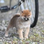 【赤柴あずきの子】柴犬の子犬は42日目です♪