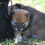 【赤柴のの香の子】柴犬の子犬は29日目です♪