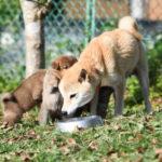 【赤柴のの香の子】柴犬の子犬は生後35日目です♪