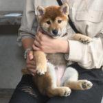 【赤柴あずきの子】柴犬の子犬の飼い主様決定いたしました♪