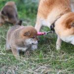 【赤柴ムギの子】柴犬の子犬の写真です♪