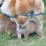 【赤柴ムギの子】柴犬の子犬は31日目です♪