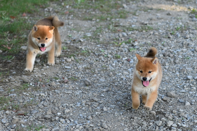 仲良く走る柴犬の子犬