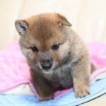 柴犬の子犬は40日目です♪【黒柴唯ちゃんの子】