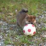 絶賛夏バテ中です。柴犬の子犬は42日目です♪【黒柴唯ちゃんの子】
