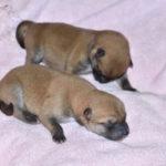 【赤柴美里の子】柴犬の子犬は生後2日目です♪